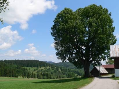 hinterfirmiansreut-naturdenkmal-baum-1000-linde