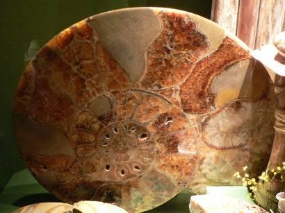 versteinerte Schnecke aus der Jurazeit vom Altmühltal