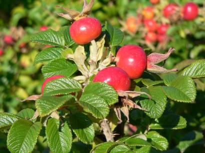 stamsried-oberpfalz-natur-pflanzen-bilder-fotos-frucht