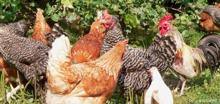 bauernhofurlaub-bayerischer-wald-ferienhof-bayern-landurlaub-hühner