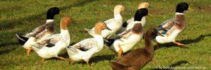 bauernhofurlaub-bayerischer-wald-viele-tiere-ferienhof-bayern-wildenten