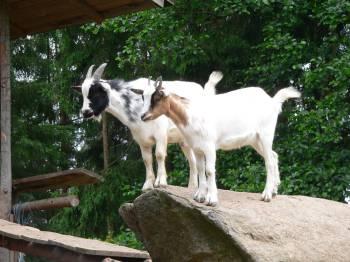 Fotos von den Tieren: Ziegen, Hasen, Pony reiten in Ostbayern