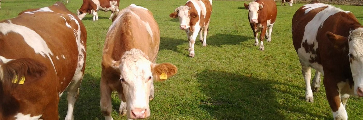 Kühe am Bauernhof Urlaub in Patersdorf Ferienhof bei Ruhmannsfelden