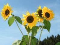 Sonnenblumen im Bayerischer Wald Herbst Urlaub in Bayern