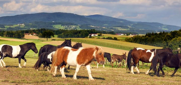ponyferienhof-bayerischer-wald-ponyhof-niederbayern-ponyreiten