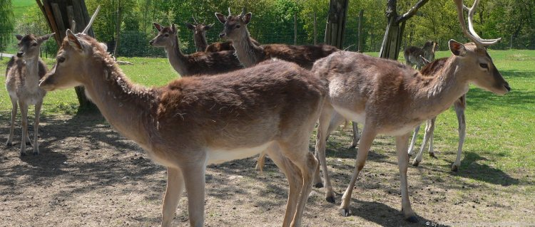 Wildpark Bayerischer Wald Tierpark in Bayern mit Dammwild