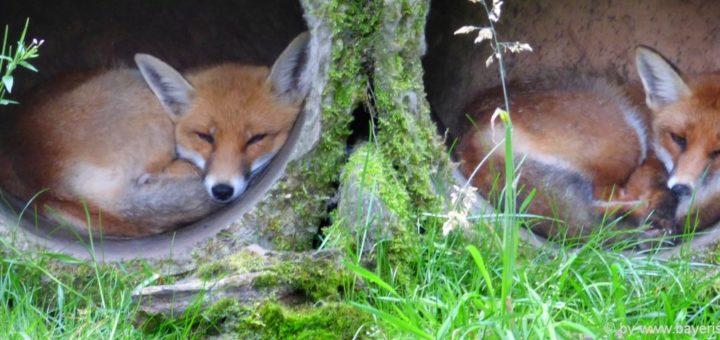 tierpark-bayern-wildpark-bayerischer-wald-fuchs-zoo-tiergehege