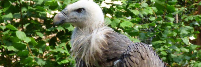 bayerwald-tierpark-bayerischer-wald-wildpark-zoo-geier