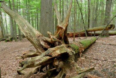 wanderurlaub-bayerischer-wald-wanderweg-baumwurzel